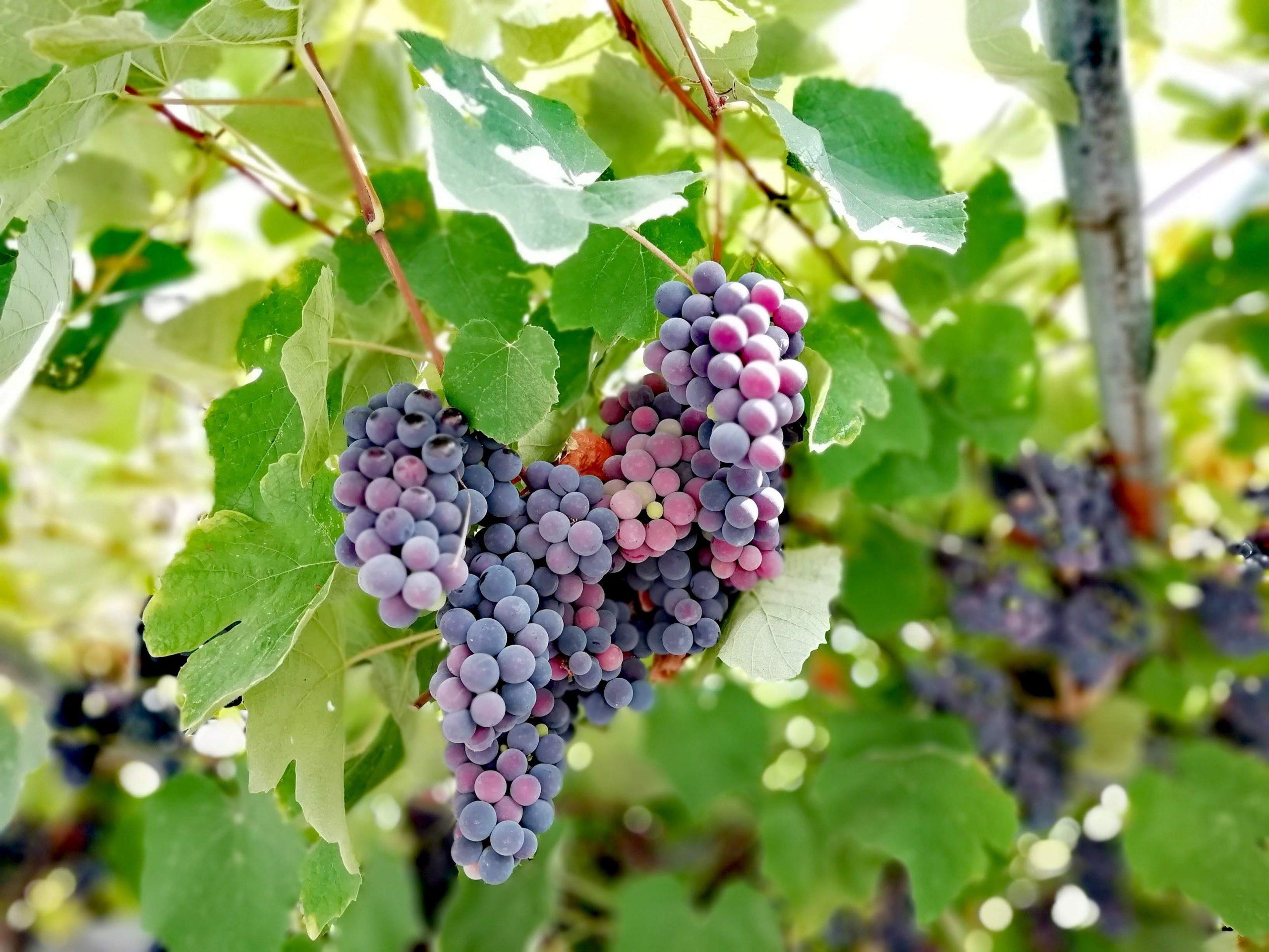 Winogrona greckie